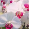 Phalaenopsis Orkide Bakımı Nasıl Yaplır?