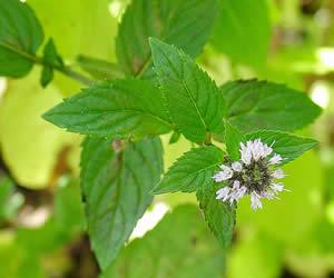 Astım şifalı bitkiler