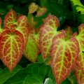 epimedium-bitkisi