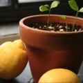evde-limon-agaci-bakimi