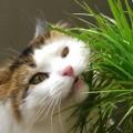Kedilerin Yemesi İçin Tehlikeli İç Mekan Süs Bitkileri