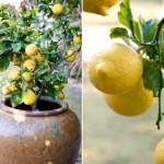 limon-agaci-yetistirilmesi
