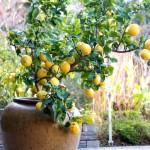 saksida-limon-agaci