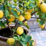 saksida-limon-agaci-bakimi