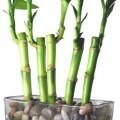 Suda Yetişen Bambu Bitkisi Bakımı İçin Öneriler